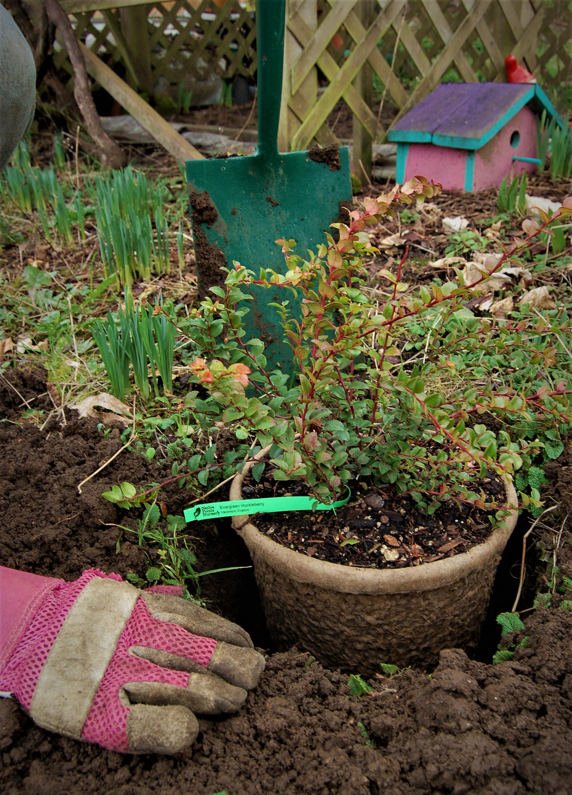 darcy-planting-evergreen-huckleberry.jpg