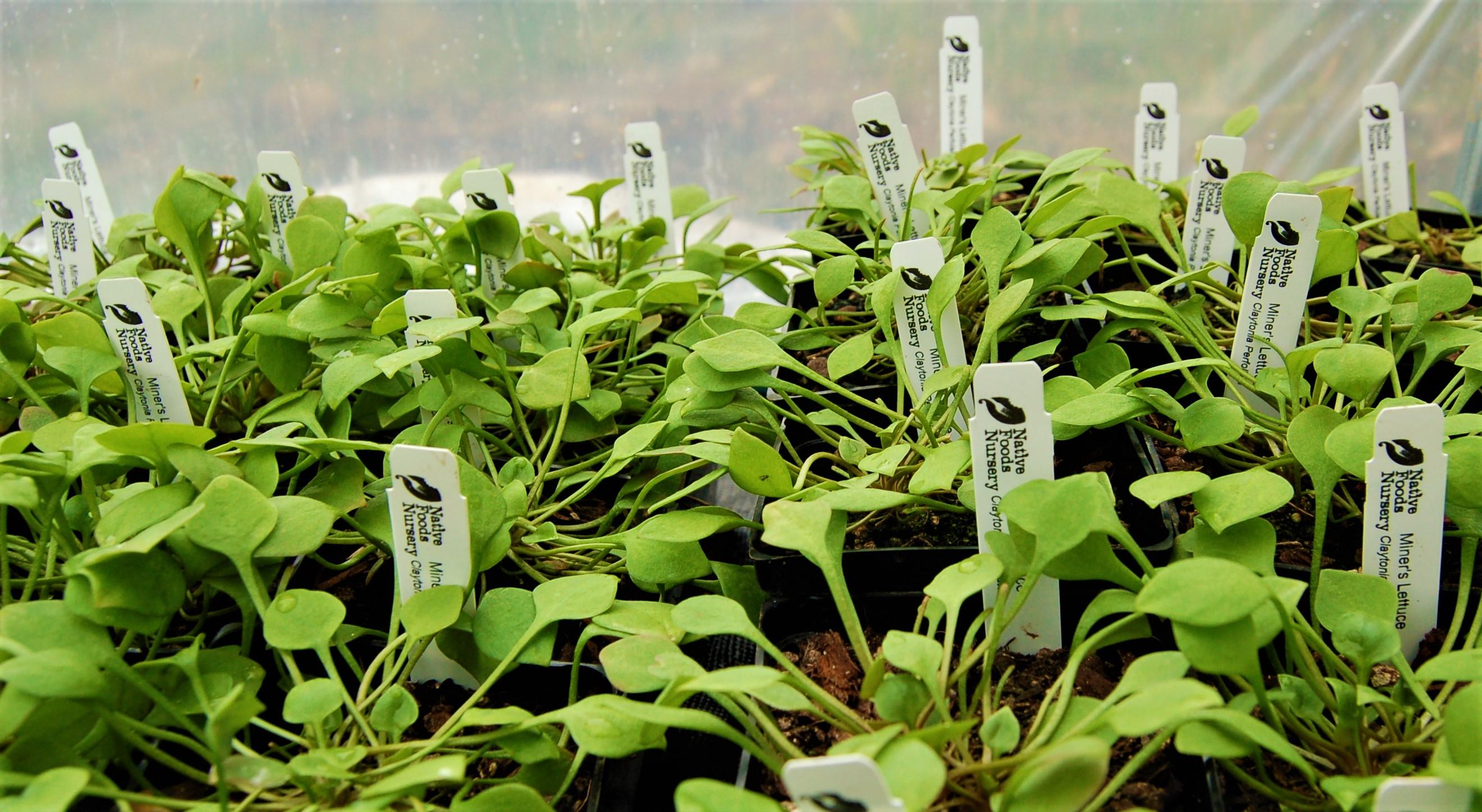miners-lettuce-pots.jpg